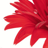 Gerbera Rouge Poster by Guillaume Plisson