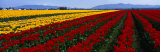 Tulip Field, Mount Vernon, Washington State, USA Photographic Print by  Panoramic Images