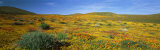 View of Blossoms in a Poppy Reserve, Antelope Valley, Mojave Desert, California, USA Photographic Print by  Panoramic Images
