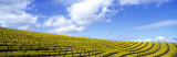 Mustard Fields, Napa Valley, California, USA Photographic Print by  Panoramic Images