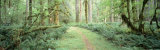 Trees Along a Trail, Quinault Rain Forest, Olympic National Park, Washington State, USA Photographic Print by  Panoramic Images