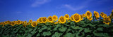Field of Sunflowers, Bogue, Kansas, USA Photographic Print by  Panoramic Images