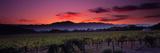Vineyard at Sunset, Napa Valley, California, USA Fotografisk trykk av Panoramic Images,