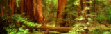 Muir Woods, Trees, National Park, Redwoods, California Photographic Print by  Panoramic Images