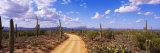 Road, Saguaro National Park, Arizona, USA Reprodukcja zdjęcia autor Panoramic Images