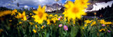 Daisies, Flowers, Field, Mountain Landscape, Snowy Mountain Range, Wyoming, USA, United States Photographic Print by Panoramic Images