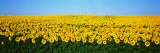 Sunflower Field, North Dakota, USA Fotoprint van Panoramic Images,