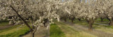 Almond Trees in a Row, Sacramento, California, USA Photographic Print by  Panoramic Images