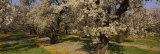 Almond Trees in a Park, Sacramento Valley, California, USA Photographic Print by Panoramic Images