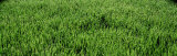 Close Up, Detail Of, Green, Grass Photographic Print by  Panoramic Images
