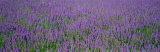 Field of Lavender, Hokkaido, Japan Fotoprint van Panoramic Images,