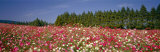 Field of Flowers, Ikoma Plateau, Miyazaki, Japan Photographic Print by  Panoramic Images