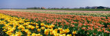 Field of Flowers, Egmond, Netherlands Photographic Print by  Panoramic Images