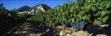 Cote Du Rhone Vineyard, Provence, France Photographic Print by  Panoramic Images