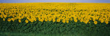Sunflower Field, Maryland, USA Photographic Print by  Panoramic Images