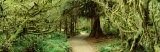 Path Hoh Rain Forest, Olympic National Park, Washington State, USA Photographic Print by  Panoramic Images