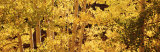 Aspens, USA Photographic Print by Panoramic Images 