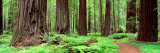 Trail, Avenue of the Giants, Founders Grove, California, USA Fotografisk tryk af Panoramic Images,