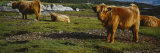 Highland Cattle on a Grassy Field, Isle of Mull, Scotland, United Kingdom Photographic Print by  Panoramic Images