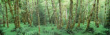 Trees in a Forest, Hoh Rain Forest, Olympic National Park, Washington State, USA Photographic Print by  Panoramic Images