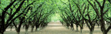 Hazel Nut Orchard, Dayton, Oregon, USA Photographic Print by  Panoramic Images