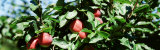 Apple Branch, USA Photographic Print by  Panoramic Images