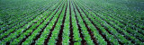 Rows of Cabbage, Yamhill County, Oregon, USA Stampa fotografica di Panoramic Images,