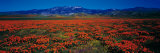 Field, Poppy Flowers, Antelope Valley, California, USA Photographic Print by  Panoramic Images