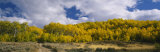 Aspen Trees in a Forest, California, USA Photographic Print by  Panoramic Images