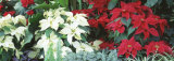 Close-Us of Red and White Poinsettias Photographic Print by  Panoramic Images