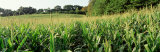 Cornfield, Baltimore County, Maryland, USA Photographic Print by  Panoramic Images