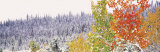 Winter, Aspens, USA Photographic Print by  Panoramic Images