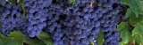 Grapes on the Vine, Napa, California, USA Photographic Print by Panoramic Images 