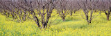 Cherry Trees, San Joachin Valley, California, USA Photographic Print by Panoramic Images 