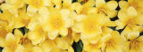 Close-up of Yellow Tulips Photographic Print by Panoramic Images