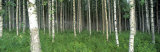 Birch Forest, Punkaharju, Finland Photographic Print by Panoramic Images