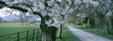 Cherry Trees and Path, Killaney, Ireland Photographic Print by Panoramic Images