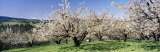 Cherry Orchard, Oregon, USA Photographic Print by Panoramic Images 