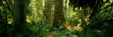 Hoh Rain Forest, Olympic National Park, Washington State, USA Photographic Print by  Panoramic Images