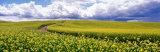 Road, Canola Field, Washington State, USA Photographic Print by  Panoramic Images