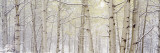 Autumn Aspens with Snow, Colorado, USA Fotografie-Druck von Panoramic Images 