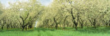 Rows of Cherry Tress in an Orchard, Minnesota, USA Fotografisk trykk av Panoramic Images,