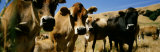 Close Up of Cows, California, USA Photographic Print by  Panoramic Images