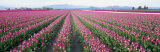 Tulip Fields, Skagit County, Washington State, USA Photographic Print by  Panoramic Images