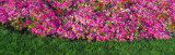Pink Petunias, Michigan, USA Photographic Print by  Panoramic Images