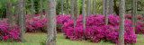 Azaleas Crawfordville, Florida, USA Photographic Print by  Panoramic Images