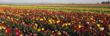 Tulip Field, Willamette Valley, Oregon, USA Photographic Print by  Panoramic Images