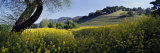 Mustard Flowers in a Field, Napa Valley, California, USA Photographic Print by  Panoramic Images