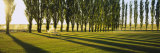 Poplar Trees Near a Wheat Field, Twin Falls, Idaho, USA Photographic Print by  Panoramic Images