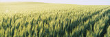 Field of Barley, Whitman County, Washington State, USA Photographic Print by  Panoramic Images
